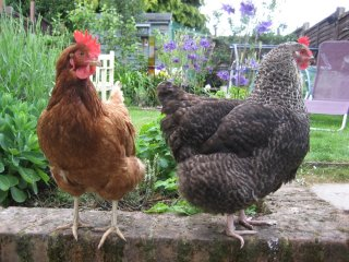 kitchen gardens benefit from chickens for manure and pest control