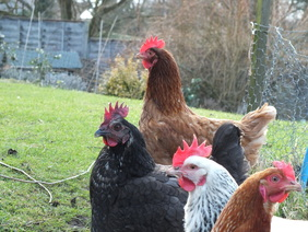 Chickens for mental health